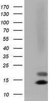 GTX84476 - Follicle-stimulating hormone / FSH