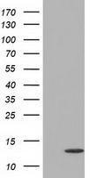 GTX84478 - Follicle-stimulating hormone / FSH