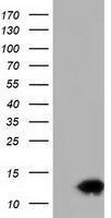 GTX84479 - Follicle-stimulating hormone / FSH