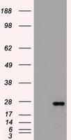 GTX84489 - Flt3 ligand