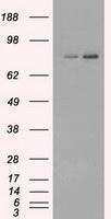 GTX84506 - FERMT2 / PLEKHC1