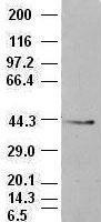 GTX84574 - CD326 / EPCAM / TACSTD1