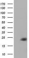 GTX84586 - Ephrin-A2