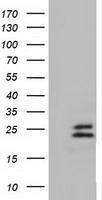 GTX84587 - Ephrin-A2