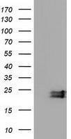 GTX84588 - Ephrin-A2