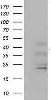 GTX84589 - Ephrin-A2