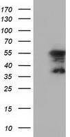 GTX84599 - DYNC1LI1