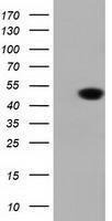 GTX84615 - DNAJA2