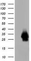 GTX84654 - Mu-crystallin homolog