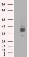 GTX84795 - CD147