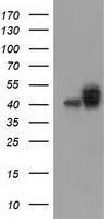 GTX84796 - CD147