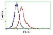 GTX84807 - B-Raf proto-oncogene