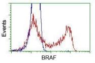 GTX84808 - B-Raf proto-oncogene