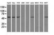GTX84842 - ATP synthase subunit beta