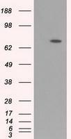 GTX84852 - ARNTL / BMAL1