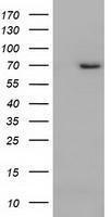 GTX84853 - ARNTL / BMAL1