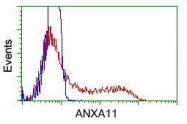 GTX84884 - Annexin A11 / ANXA11