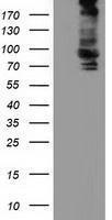 GTX84899 - ALDH1L1 / FTHFD