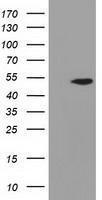 GTX84956 - Adenylosuccinate lyase (ASL)