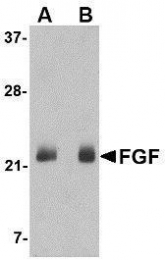 GTX85040 - FGF4