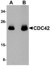 GTX85114 - CDC42