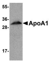 GTX85115 - Apolipoprotein A I (APO AI)