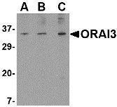GTX85442 - ORAI3