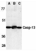GTX85523 - Caspase-4
