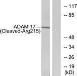GTX86885 - CD156b / ADAM17
