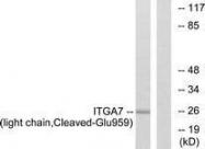 GTX86894 - Integrin alpha-7 / ITGA7