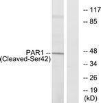 GTX86903 - Thrombin receptor / F2R