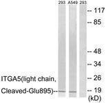 GTX86915 - CD49e / ITGA5