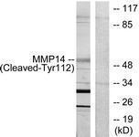 GTX86916 - MMP-14 / MT1-MMP