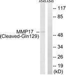 GTX86926 - MMP-17