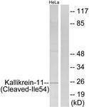 GTX86927 - KLK11 / Kallikrein-11