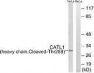 GTX86946 - Cathepsin L1