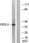 GTX86978 - Olfactory receptor 2L5