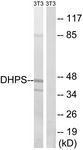 GTX87013 - Deoxyhypusine synthase (DHPS)