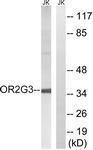 GTX87021 - Olfactory receptor 2G3