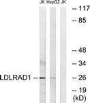 GTX87041 - LDLRAD1