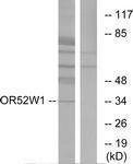 GTX87068 - Olfactory receptor 52W1