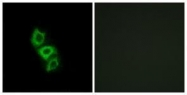 GTX87078 - Apolipoprotein L5 (Apo L5)