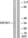 GTX87088 - Olfactory receptor 10C1