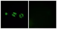 GTX87098 - Olfactory receptor 10G6