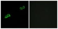 GTX87100 - Olfactory receptor 2AT4
