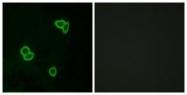 GTX87108 - Latrophilin-1