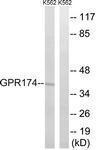 GTX87118 - GPR174