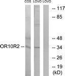 GTX87128 - Olfactory receptor 10S1