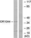 GTX87130 - Olfactory receptor 10A4