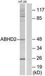 GTX87133 - ABHD2 / LABH2